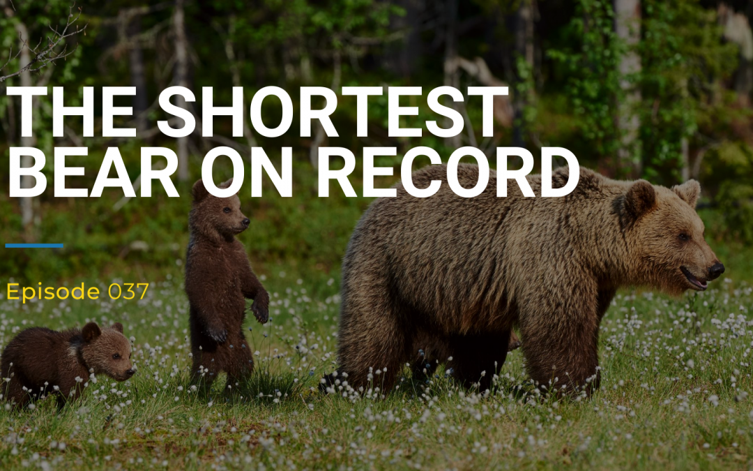 037: The Shortest Bear On Record